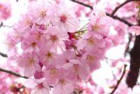 rose de sakura